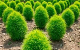 Кохия летний кипарис выращивание из семян