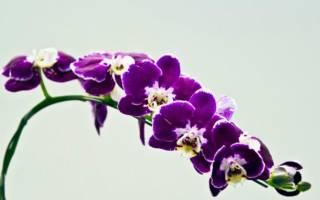 Орхидея белая с фиолетовыми пятнами
