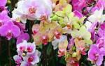 Как укоренить орхидею фаленопсис без корней