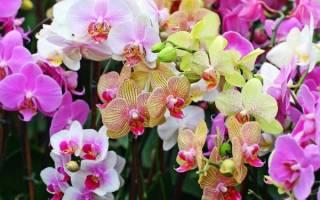 Нарастить корни у орхидеи