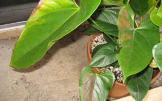 Коричневые пятна на листьях антуриума