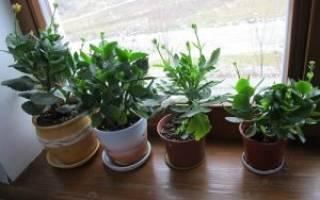 Как размножить каланхоэ цветущий
