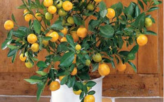 Мандарин растение