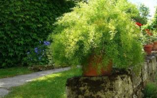 Аспарагус шпренгера выращивание из семян