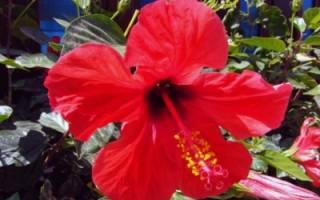 Почему не цветет гибискус комнатный