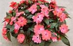 Бальзамин pink ruffles