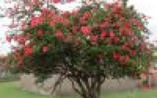 Цветок гибискус уличный