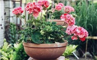 Постоянно цветущие комнатные цветы