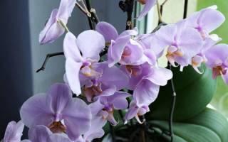Отцвела орхидея что дальше