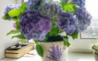 Время цветения гортензии