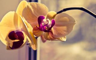 Орхидея вялые листья причина