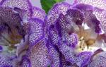Как размножать глоксинию листом