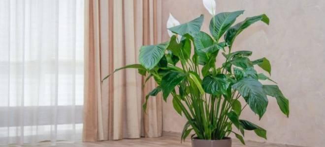 Спатифиллум сохнут кончики листьев что делать