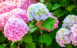 Когда цветет гортензия садовая