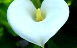 Каллы цветы смерти почему
