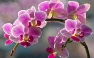 Орхидея желтеет что делать