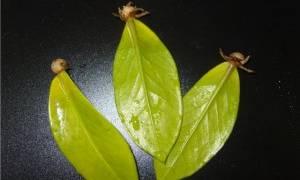 Как размножить замиокулькас листом