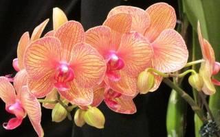 Почему не цветет фаленопсис в домашних условиях