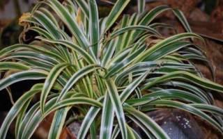 У хлорофитума сохнут кончики листьев