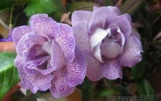 Цветок глоксиния как ухаживать