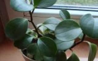 Пеперомия клузиелистная уход в домашних условиях