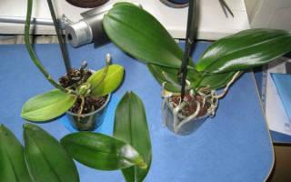 Как спасти орхидею без листьев и корней