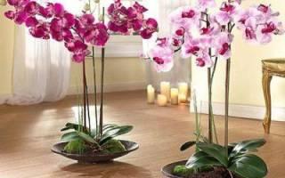 Фаленопсис как поливать во время цветения