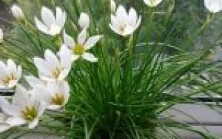 Зефирантес цветок уход в домашних условиях