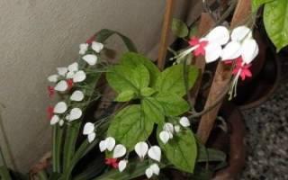 Почему не цветет клеродендрум томпсона