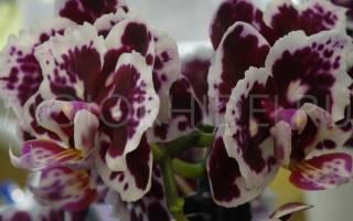 Сколько живет орхидея