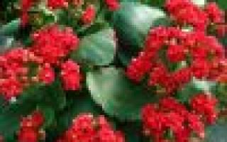Каланхоэ цветение