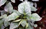 Мучнистая роса на комнатных растениях лечение