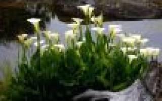Как выращивать каллы в саду