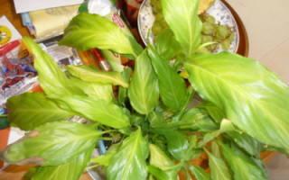 Почему у спатифиллума листья бледные