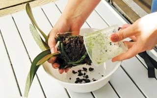 Поливать ли орхидею после пересадки