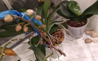 Цветонос или корень у орхидеи
