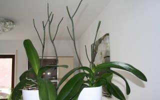 Фаленопсис после цветения что делать