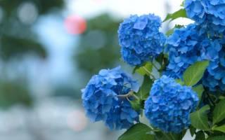 Как цветет гортензия