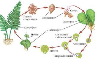 Чем размножается папоротник