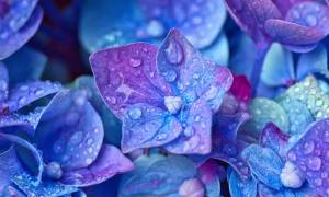 Когда цветет гортензия метельчатая