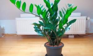 Как посадить долларовое дерево из листика