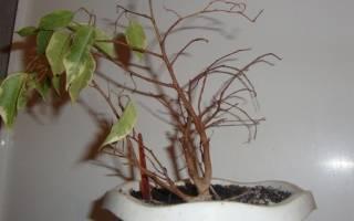 Почему у фикуса сохнут листья по краям