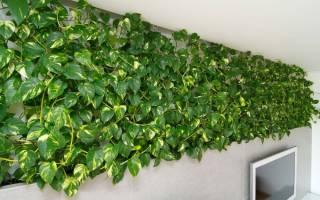 Комнатные растения плющ