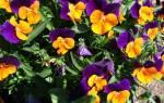 Можно ли пересаживать фиалки когда они цветут