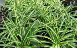 Хлорофитум зеленый