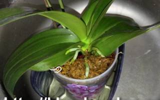 Правильный полив орхидей в домашних условиях