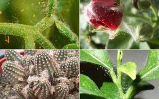 Клещ на растениях комнатных