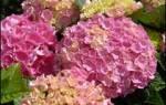 Гортензии крупнолистные цветущие на побегах текущего года