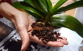 Пересадка орхидеи фаленопсис в домашних условиях пошагово