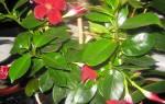 Дипладения желтеют и опадают листья